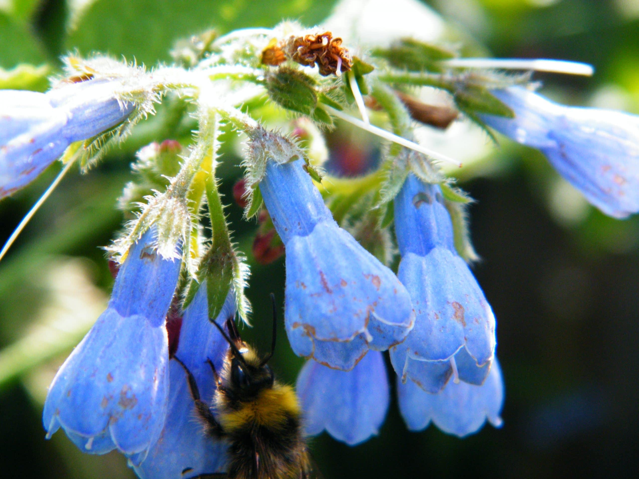 bee comfrey