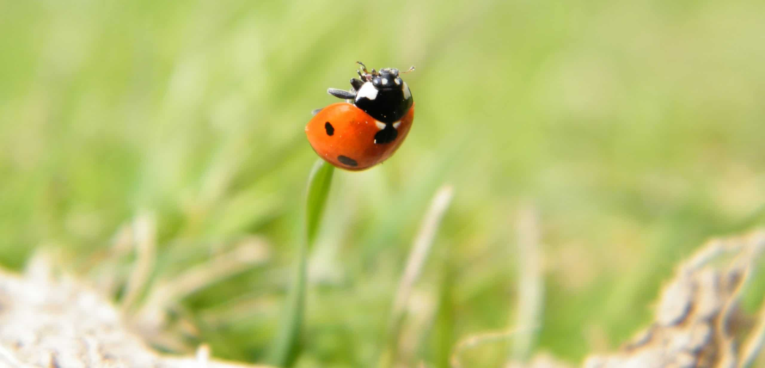 ladybird insect grass