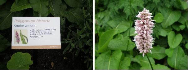 bistort herb info