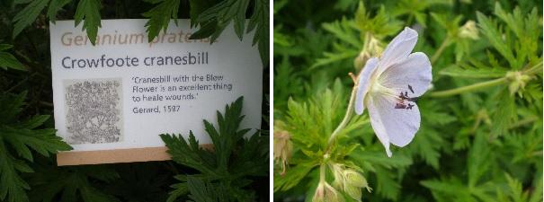 cranesbill herb info