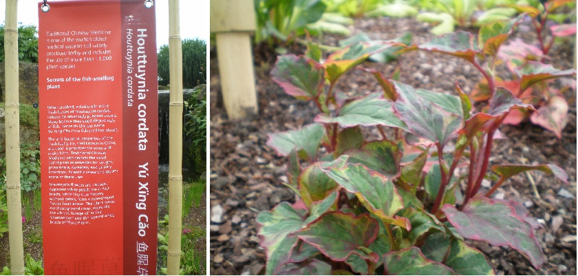 houttuynia cordata plant info