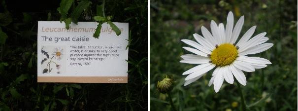 oxeye daisy herb info