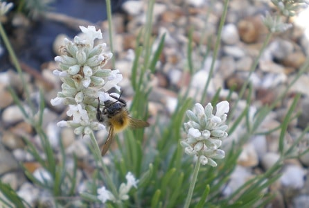 bee white lavender