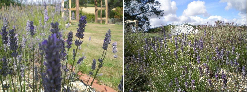 lavender national collection