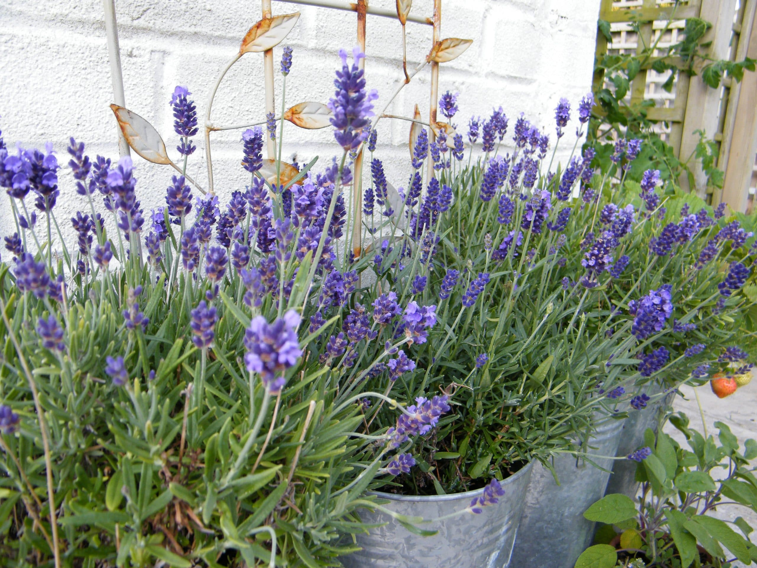 lavender herbs in pots