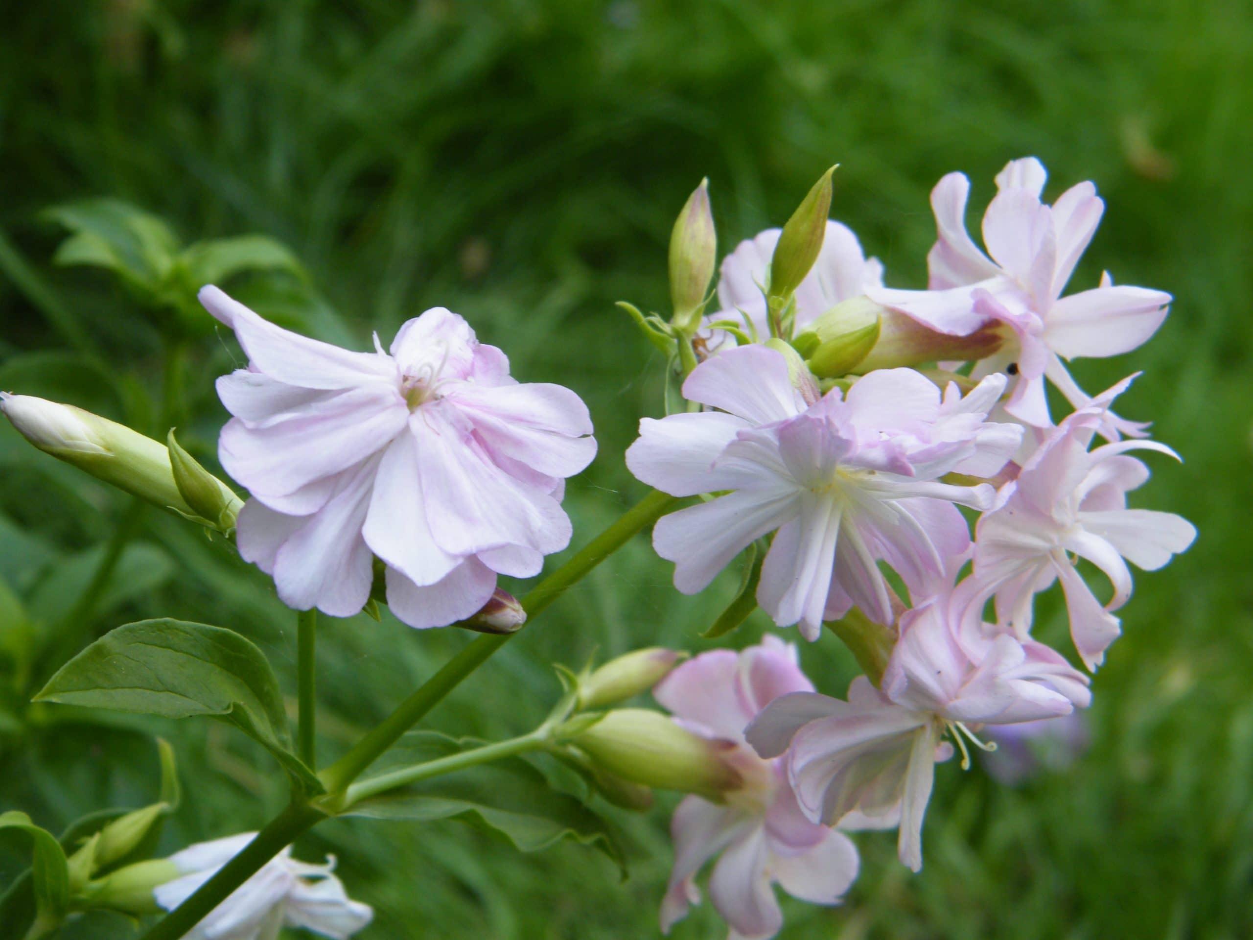 soapwort garden