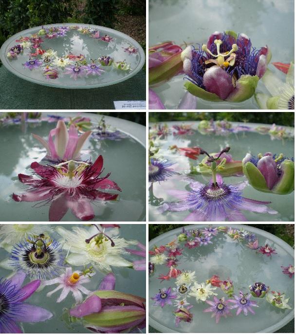 passionflowers medical herbalism