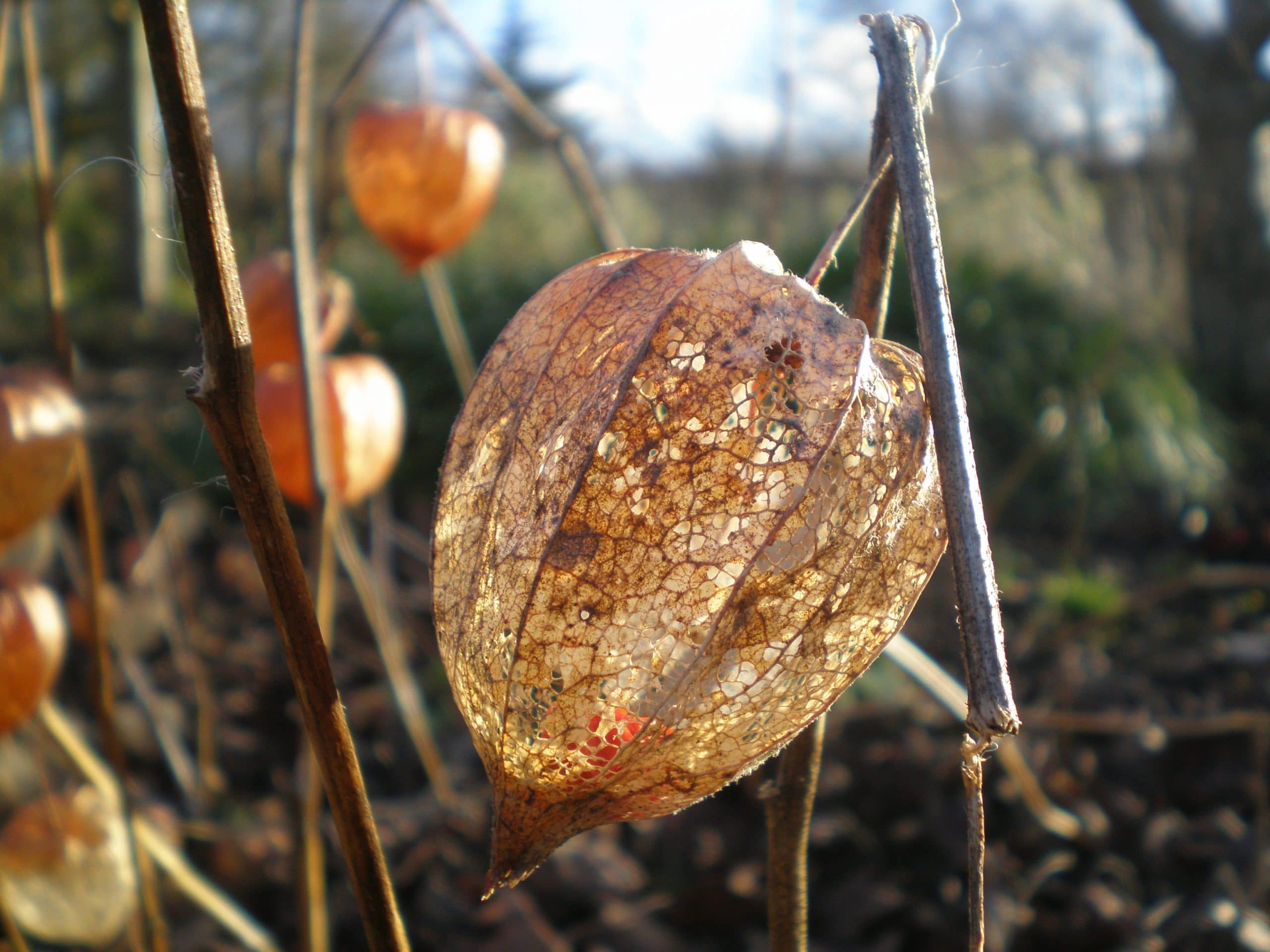 physalis chinese lanterns
