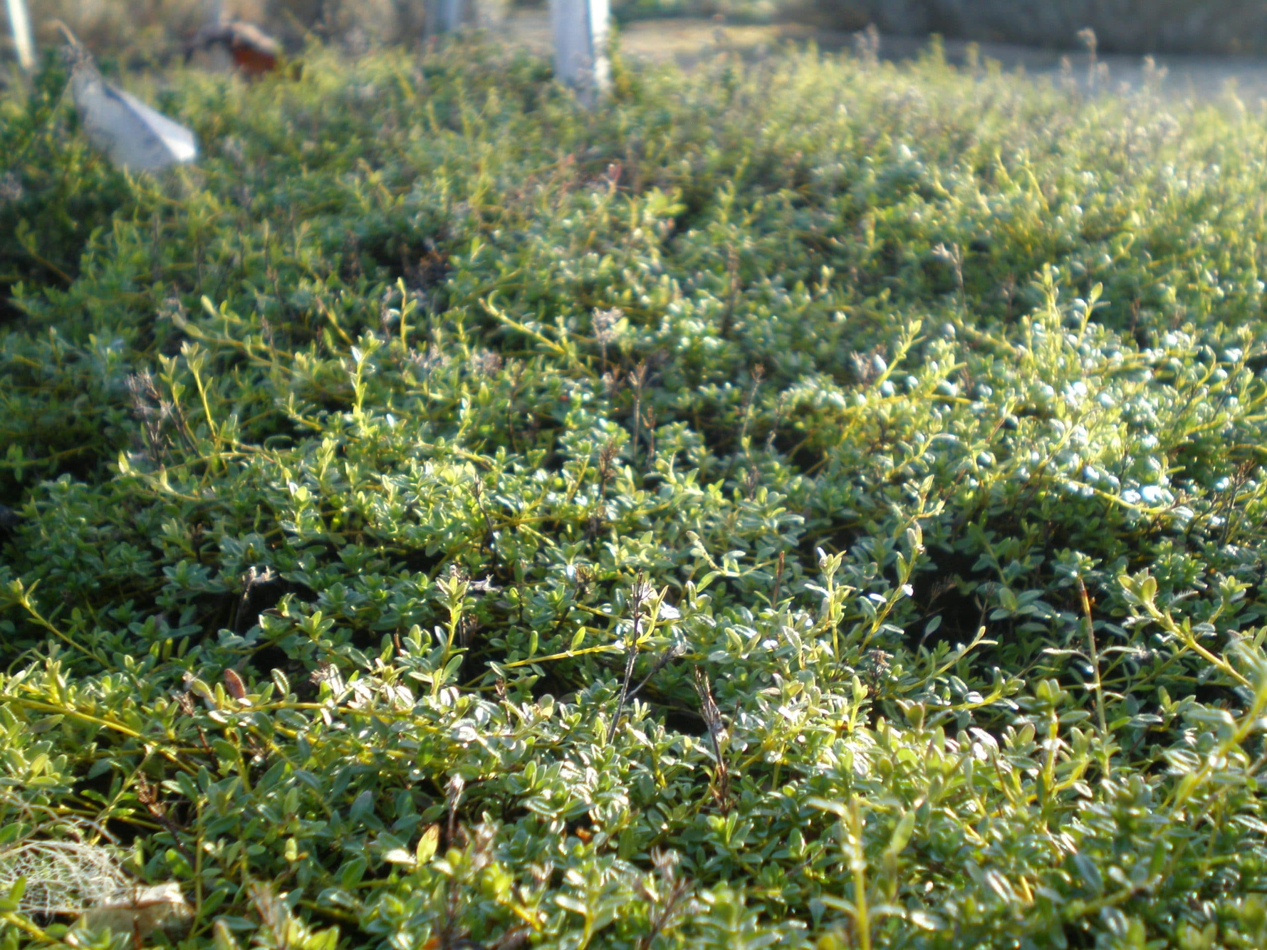 thyme growing in ryton herb garden