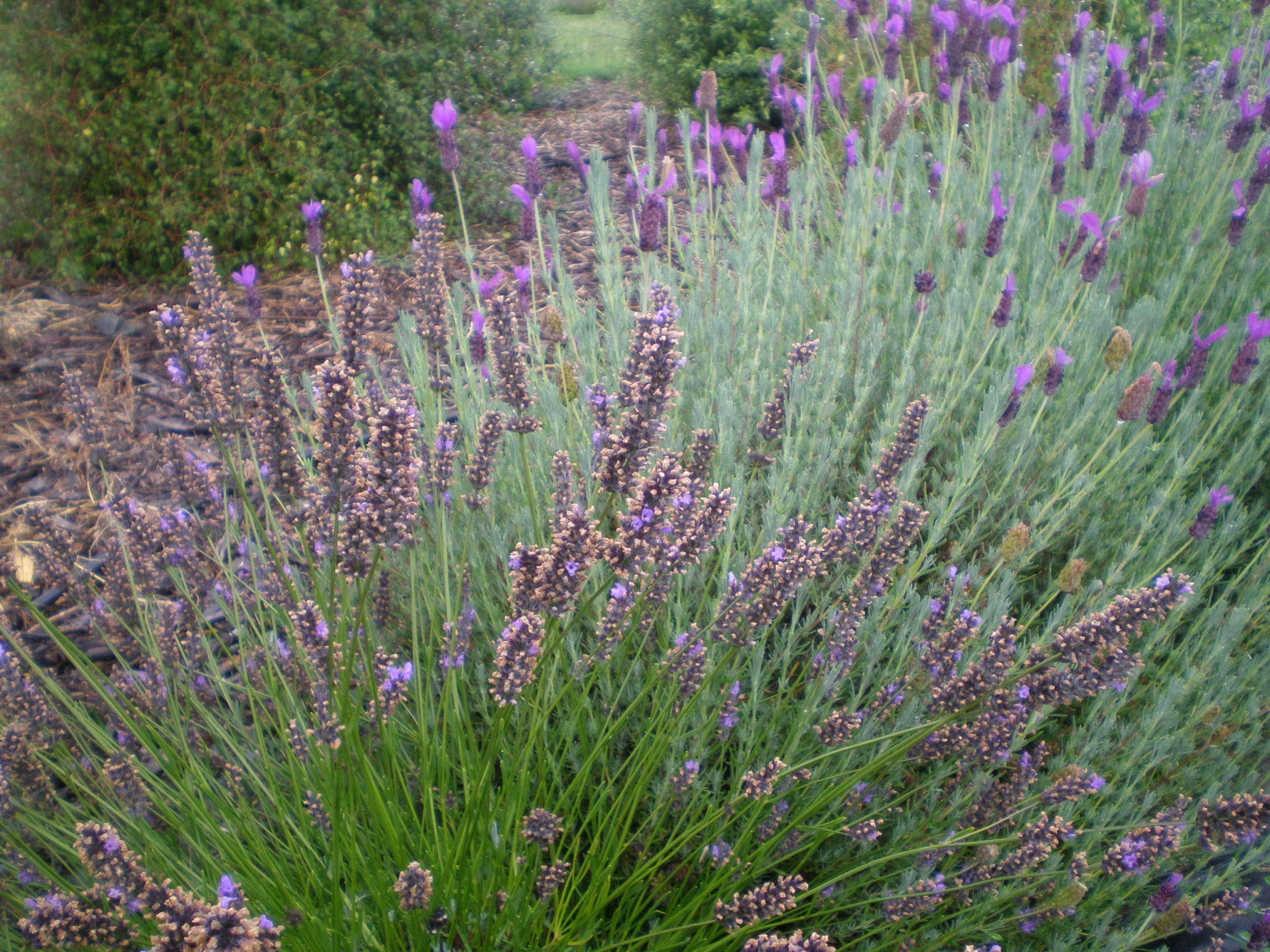 lavender herbs growing at wanaka lavender