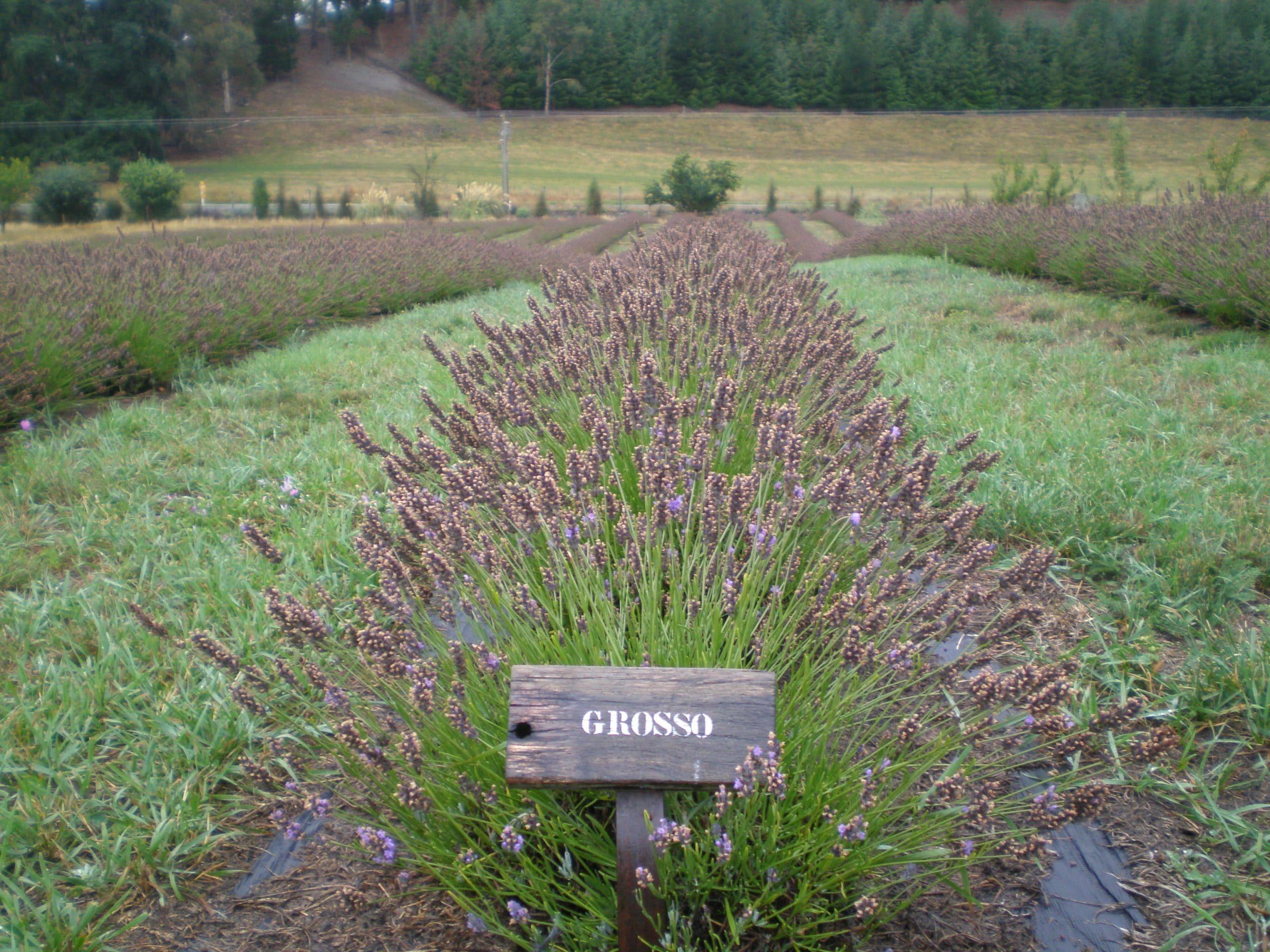 scientific testing lavender herb