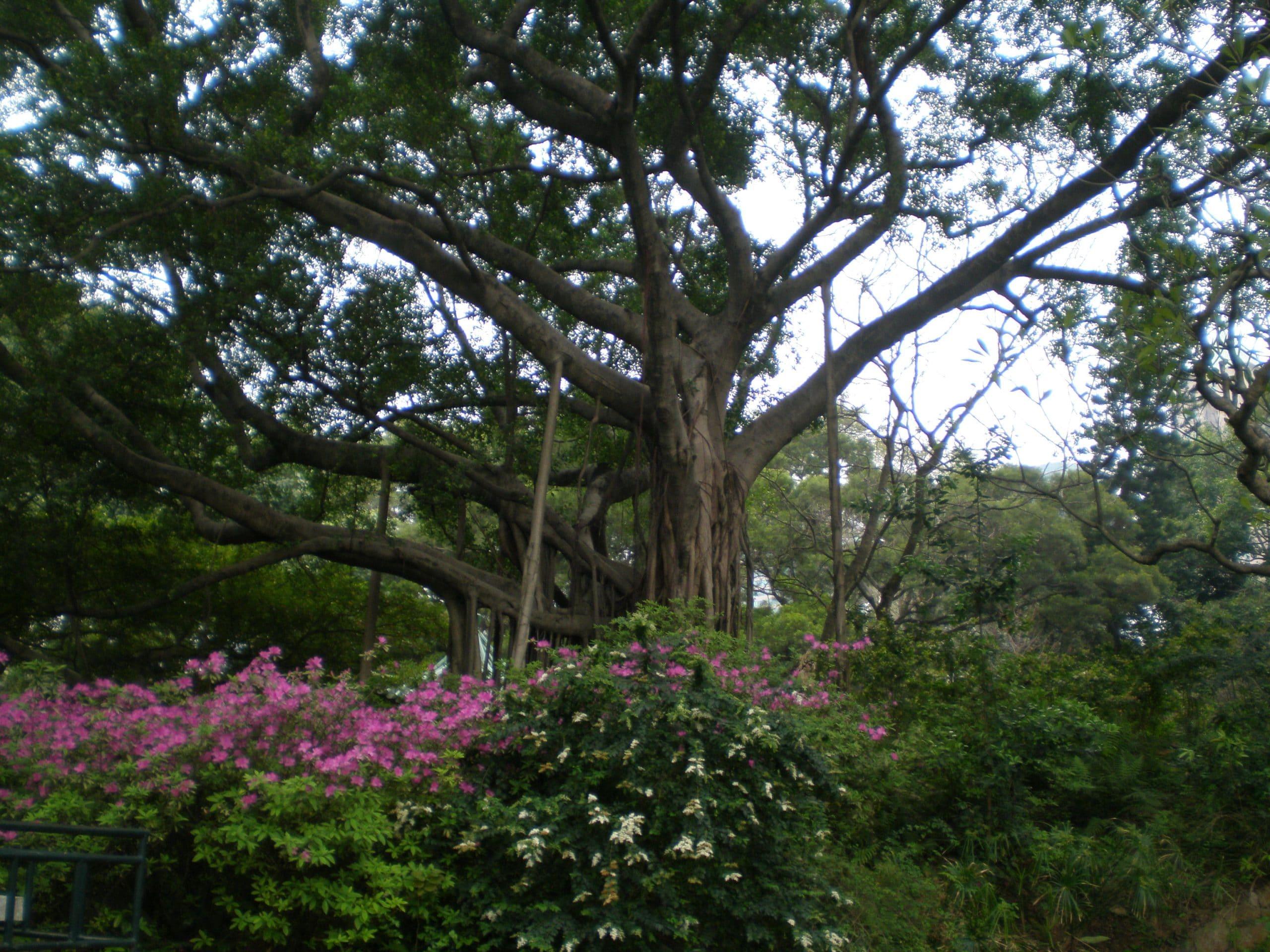 banyan tree for herb society