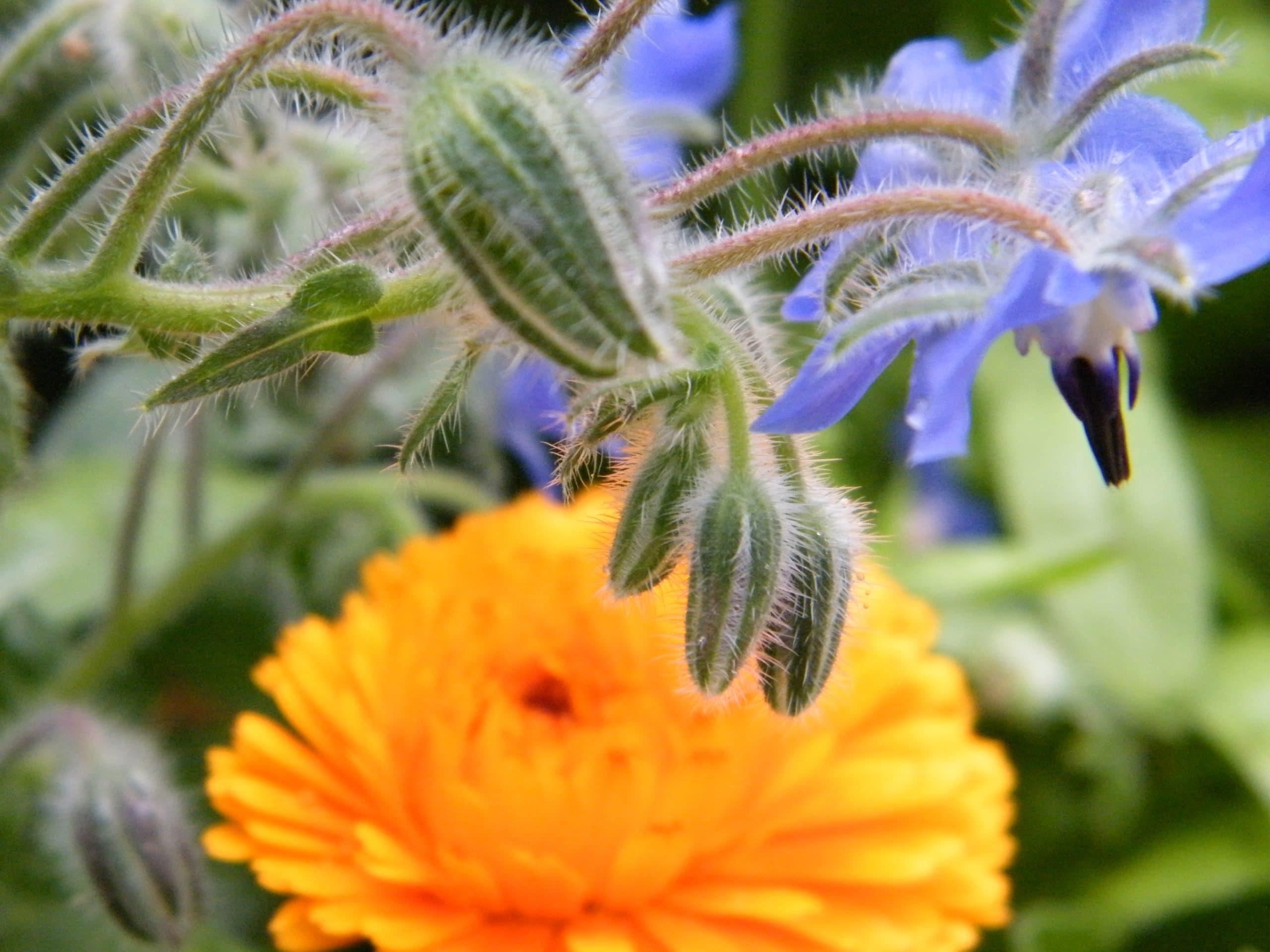 borage calendula flowers
