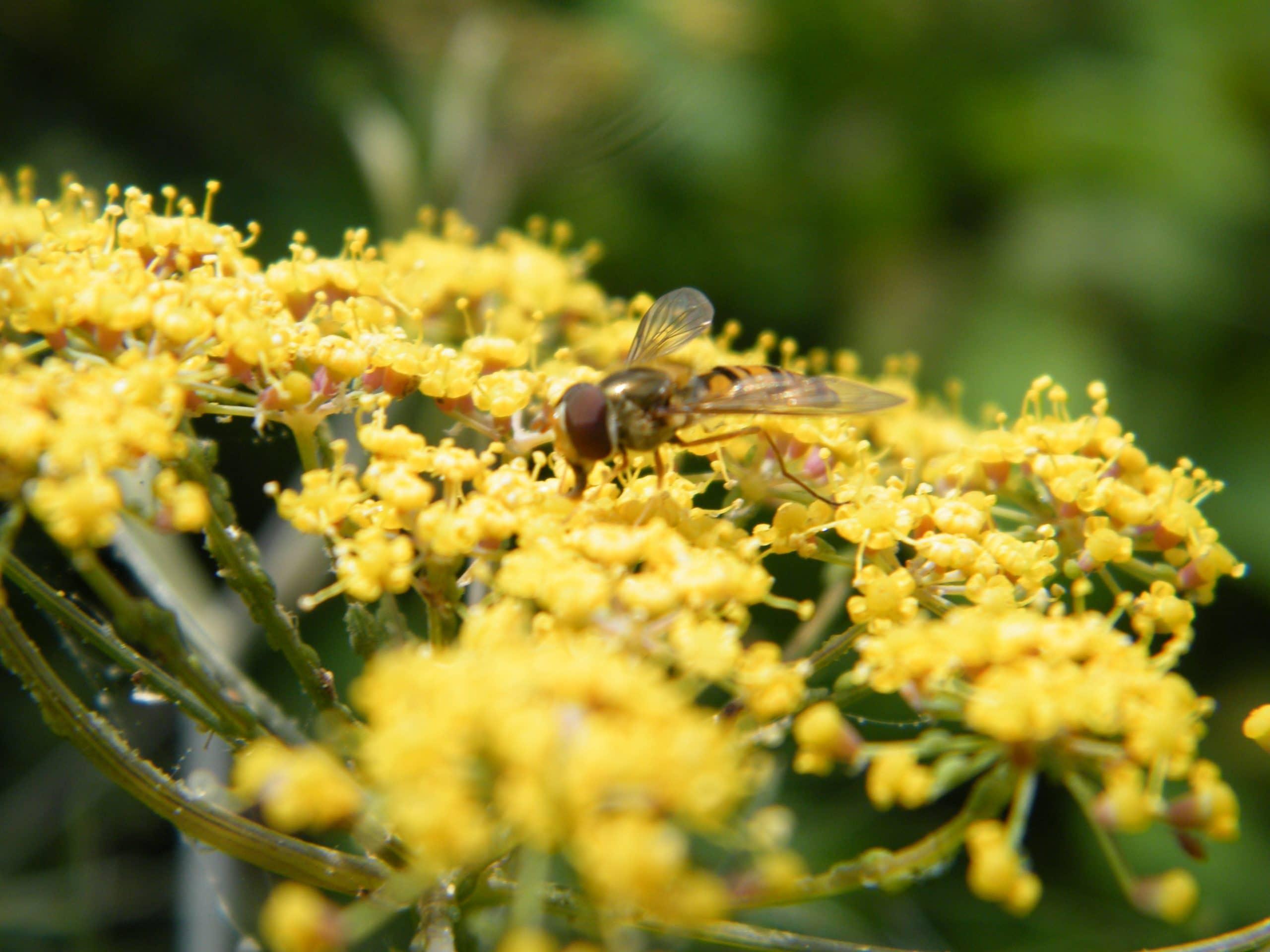 bronze fennel flowers pollinators
