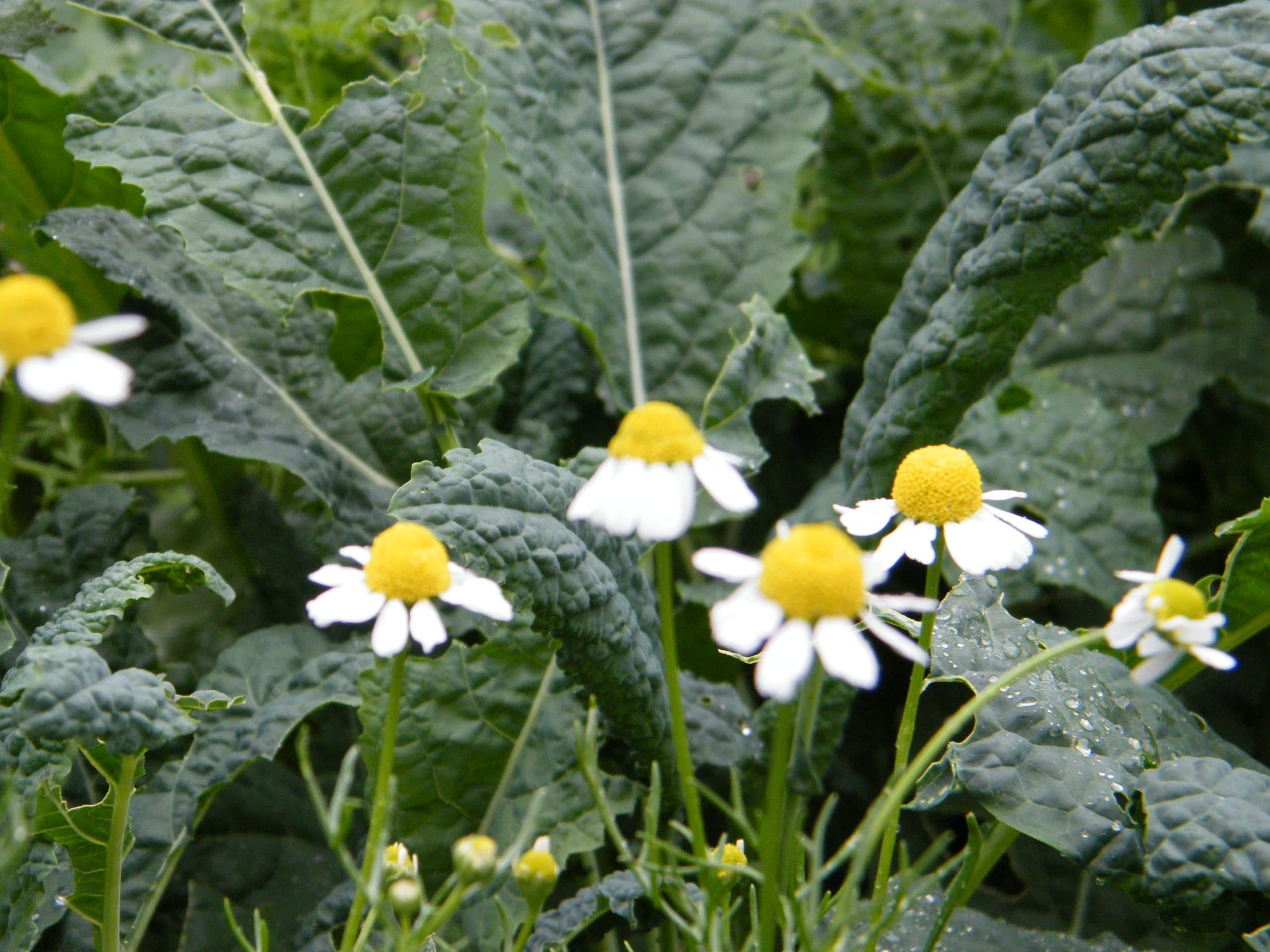 chamomile herb flowers with kale