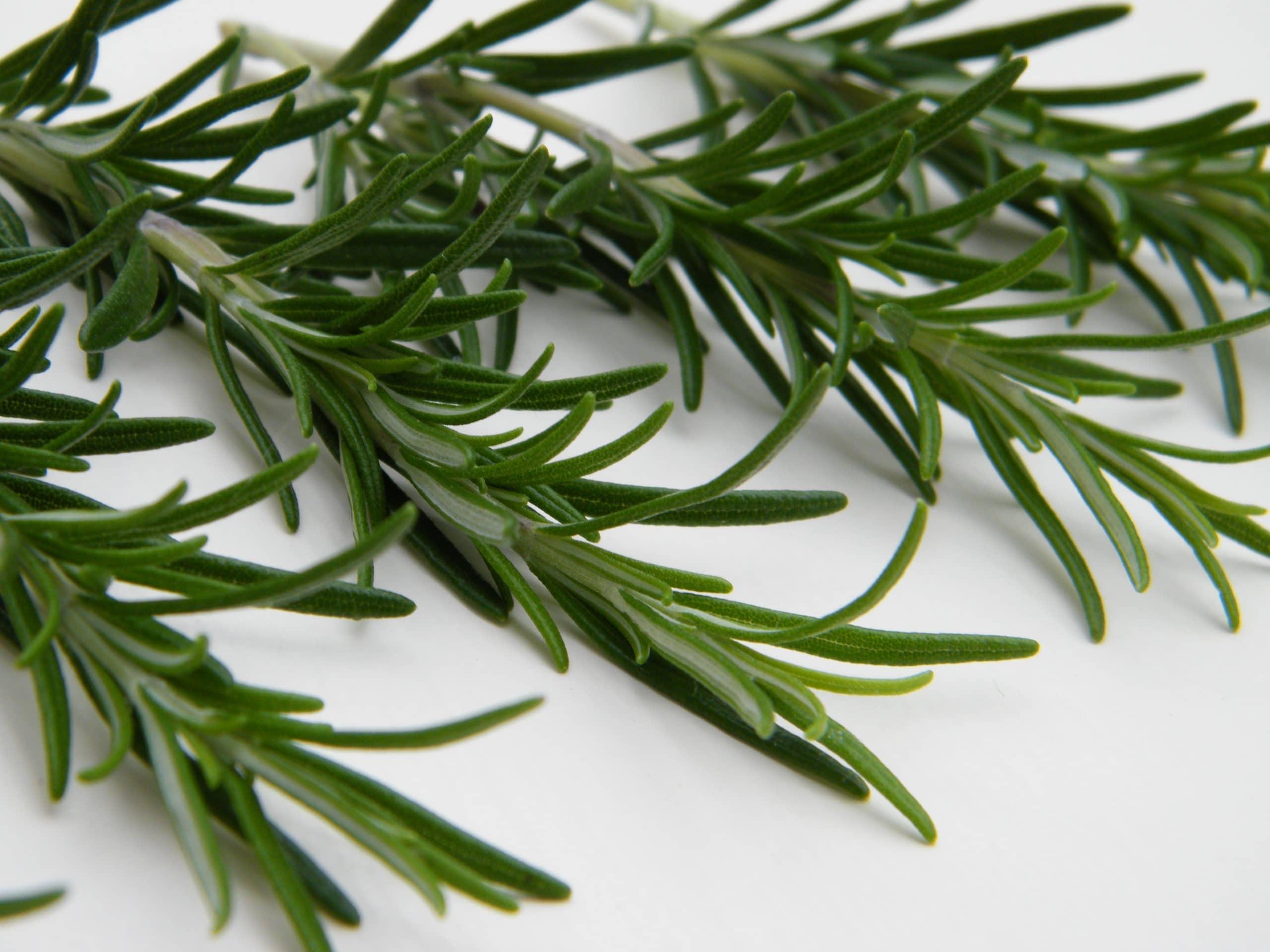 rosemary memory herb