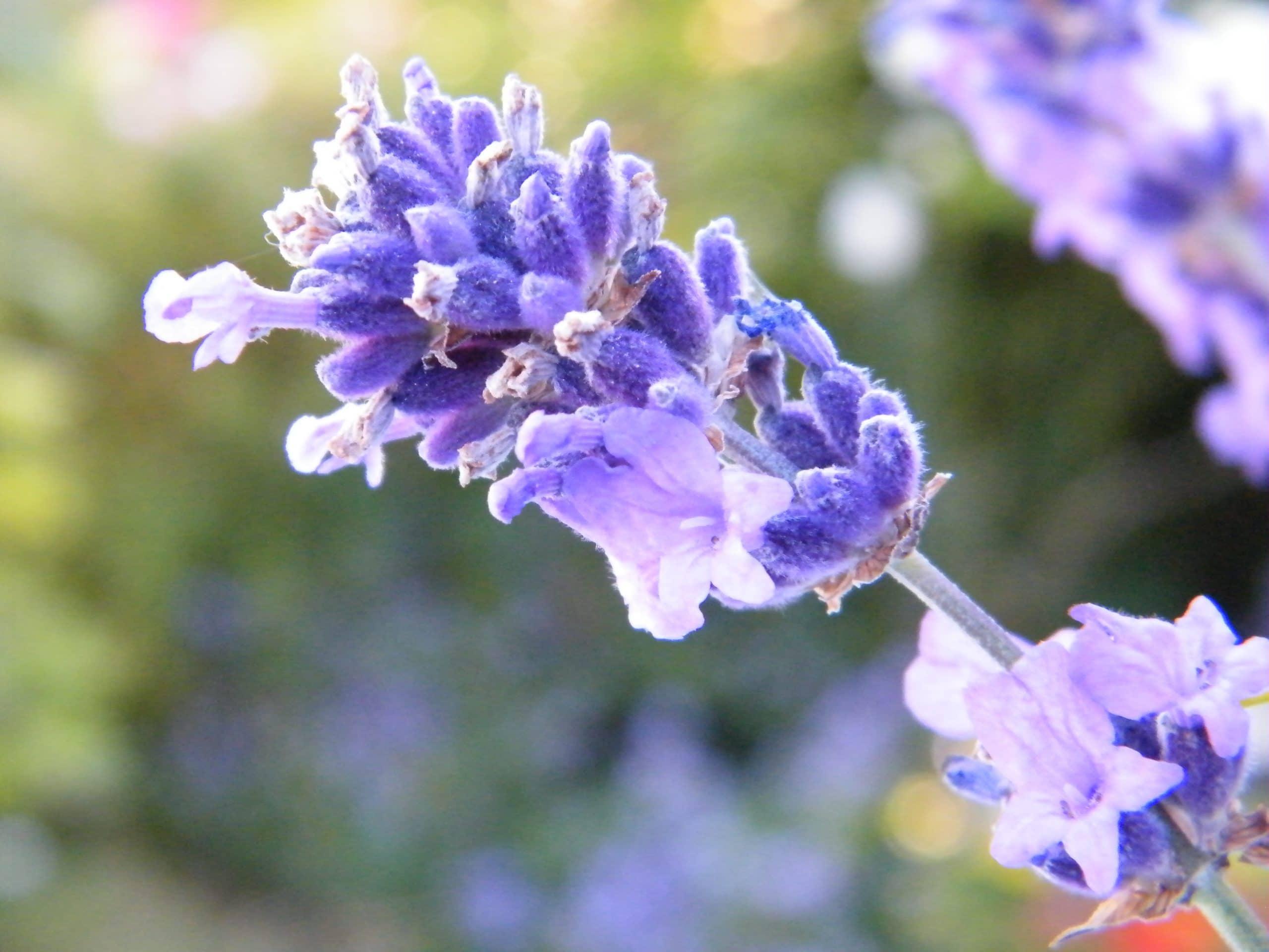 properties lavender herb
