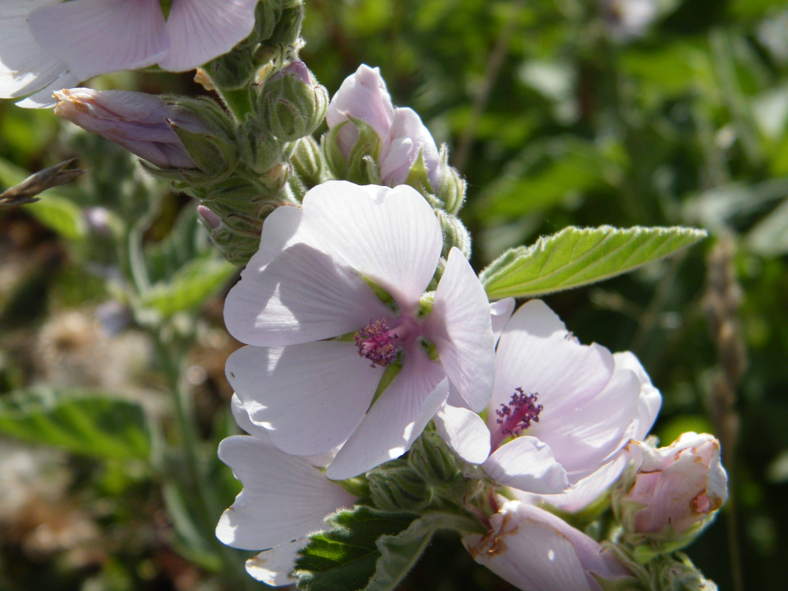 wild mallow flowers