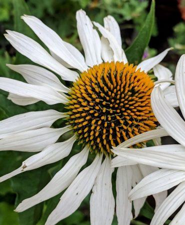 N Reynolds White echinacea CROPPED