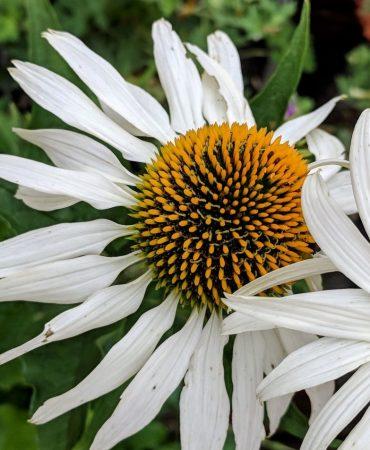 N Reynolds White echinacea CROPPED