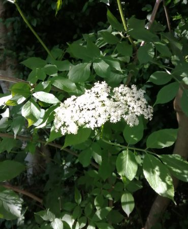 Elderflower IMG_20190606_172544