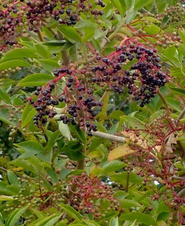 Elderberries banner